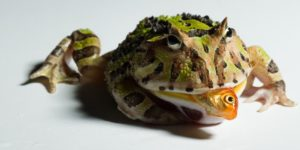 The Best Foods for a PacMan Frog