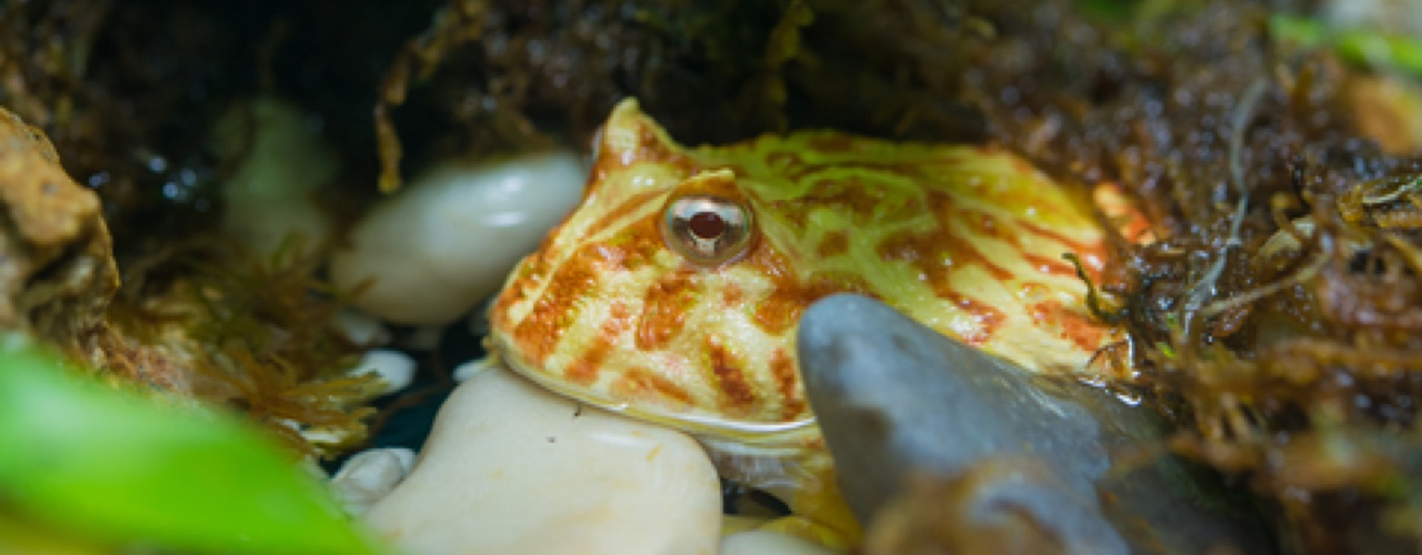 10 Signs of an Unhealthy Pacman Frog